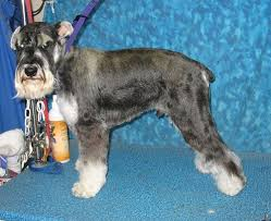 schnauzer hair styles pet schnauzer grooming in tucson bbird s groomblog