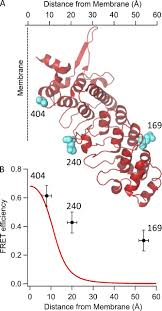 measuring distances between trpv1 and the plasma membrane using a
