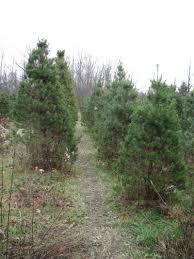 christmas trees soubusta farms