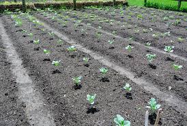 Vegetable Garden Blogs by More Planting In My Vegetable Garden The Martha Stewart Blog