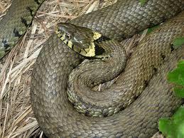 grass snake alchetron the free social encyclopedia