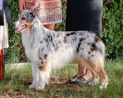double j australian shepherds absoloot australian shepherds u2022 bravo u0027s offspring