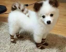american eskimo dog in india 61 best american eskimo dogs images on pinterest animals