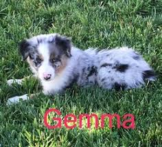 australian shepherd indiana view ad australian shepherd puppy for sale indiana lynn usa