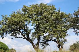 promoting early maturing rich shea trees and holding the