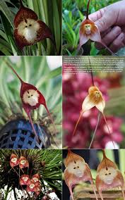 Monkey Orchid Orchid Faces Fragrant Orchids Of Maui Haiku Hawaii We Ship
