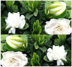 Fragrant Jasmine Plant - cheap cape jasmine plant find cape jasmine plant deals on line at