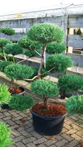 Topiary Cloud Trees - 362 best топиари images on pinterest gardens plants and bonsai