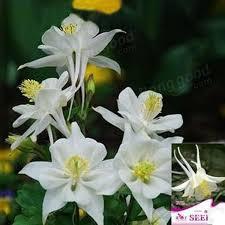 30pcs white columbine flower seeds ornamental flower seed us