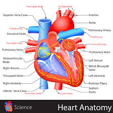 Gross Anatomy Of The Human Heart Human Heart Anatomy Video Gross Anatomy Of The Heart Anterior View