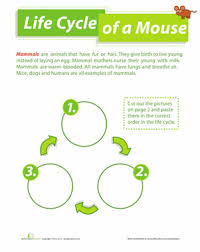 life cycle of a mouse worksheet education com