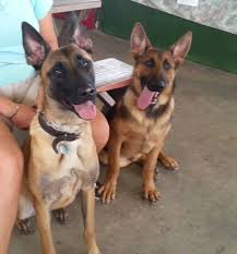 belgian malinois vest service dog sales training and certification ocala florida