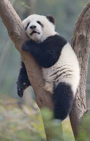 best 25 cute panda ideas on pinterest cutest baby animals baby