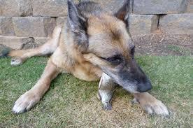belgian shepherd quotes raw fed dog number 14 u2013 naya tinkerwolf