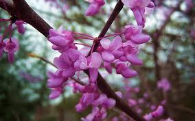garden design the abcs of northern virginia flowering trees