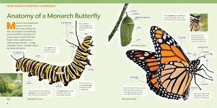 how to raise monarch butterflies a by guide for how
