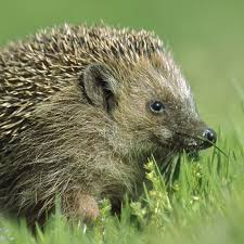 hedgehog national geographic