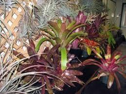 introduction to bromeliads dave u0027s garden