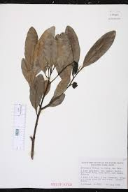 native plants fort myers diospyros ebenum species page isb atlas of florida plants