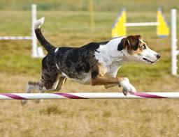 beagle x australian shepherd catahoula leopard dog temperament u2013 you can u0027t touch this u2026