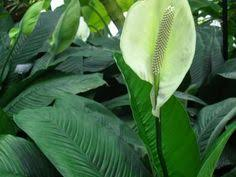 Indoor Plants Low Light Hgtv by Umbrella Tree Garden Inspiration Pinterest Trees And Umbrellas