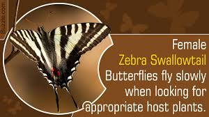 all you wanted to know about the zebra swallowtail butterfly