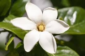 native plants in hawaii a hawaiian gardenia gardenia brighamii hawaii horticulture