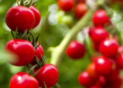 light requirements for growing tomatoes indoors how to grow tomatoes under led lights indoorgrowledlights com
