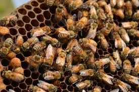 honey bee helpers it takes a village to conserve a colony