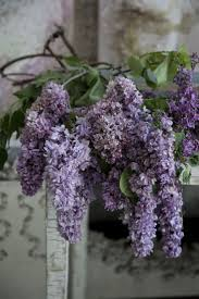 wisteria sinensis australian bush flower 315 best flowers wisteria lane images on pinterest wisteria