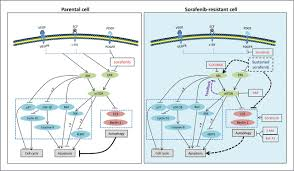 inhibition of akt reverses the acquired resistance to sorafenib by