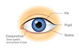 Picture Of Eye Anatomy Human Eye Anatomy In Front View Stock Vector Image 95007245