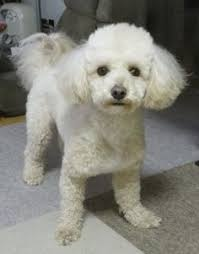 bichon frise puppy cut portrait of margaret alice haircut style poodle and haircuts