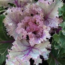 how to grow ornamental kale nurseries
