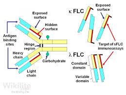 heavy chain light chain figure 5 1 an antibody molecule showing the immunoglobulin heavy