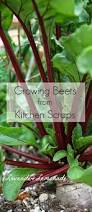 How To Grow A Vegetable Garden In Pots Strange Growing Beets In Containers From Kitchen Scraps Gardens
