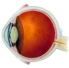 Anatomy And Physiology Glossary Vision Related Terms Selected Online Sources National Eye Institute