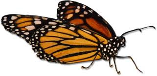 monarch butterfly pictures page 5