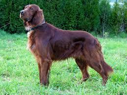 belgian shepherd gumtree 27 best dogs images on pinterest westminster dog show dog