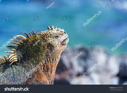 iguana island face marine iguana relaxing sun blue stock photo 450129292