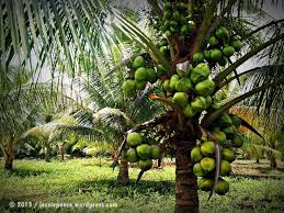 essay on coconut tree about coconut tree essay pujckamfat tropical