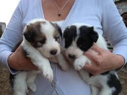 australian shepherd x border collie puppies border collie x bearded collie puppies bordies high peak