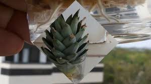 how to make ornamental pineapple sprouts