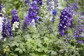 delphinium flowers purple larkspur flowers delphinium elatum stock photo picture