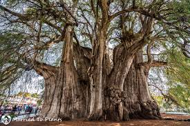 the widest tree trunk in the arbol tule
