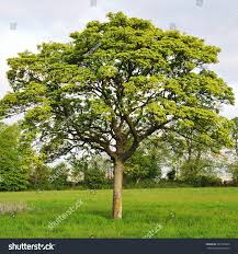 royalty free young oak tree in a green field 387335839 stock
