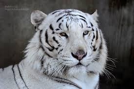 2016 12 25 宇都宮動物園 ホワイトタイガーのアース王子 white tiger
