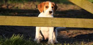 continental kennel club ckc dog registration