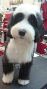 hair cuts for the tebelan terrier tibetan terrier pet trim grooming style portfolio pinterest