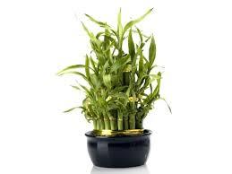 Fragrant Indoor House Plants - desk plants for office desk as per vastu best plants for office
